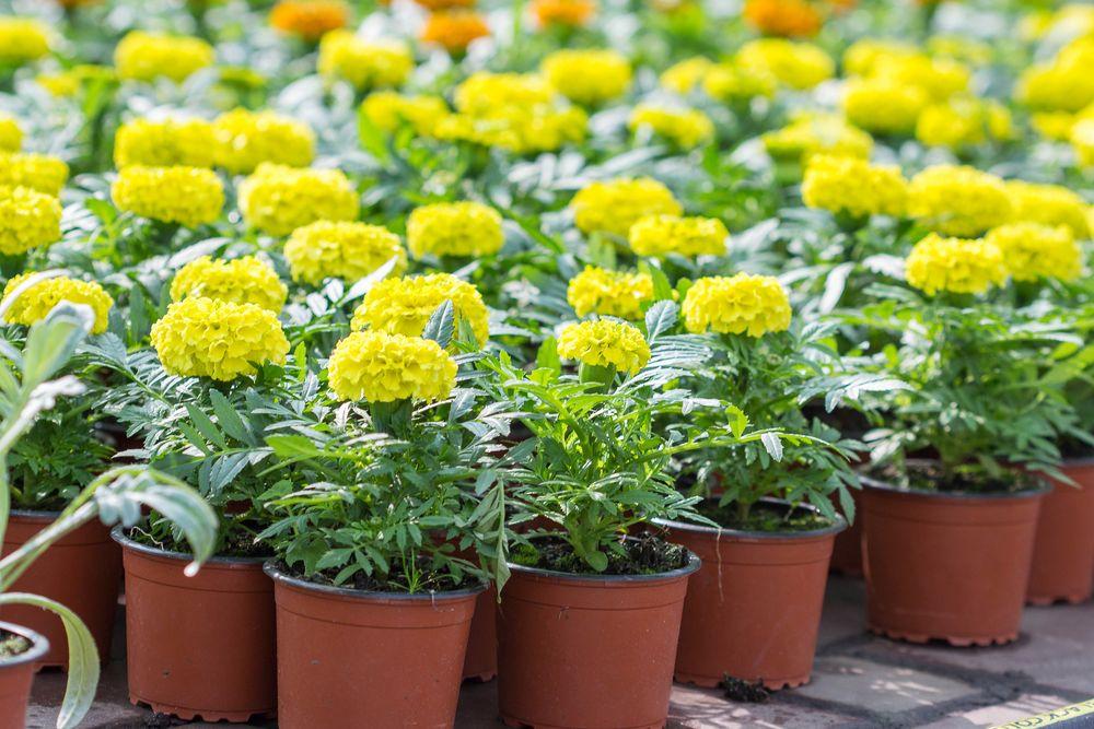Выращивание однолетних цветов фото