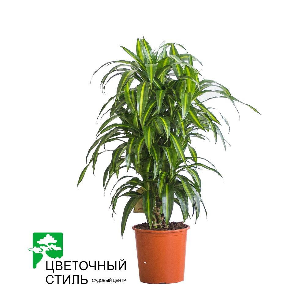 Драцена fragrans Hawaiian Sunshine (120cм)
