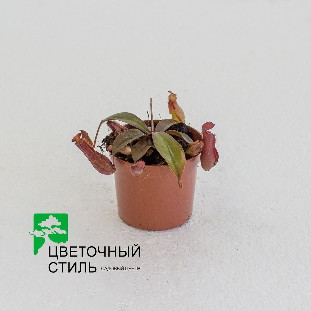 Мухоловка Непентес (Nepenthes Bloody Mary)